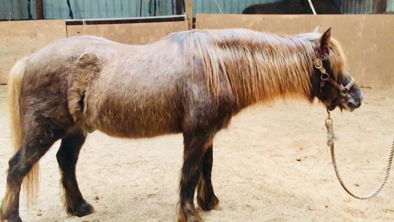 Danny Boy, an adoptable Shetland Pony