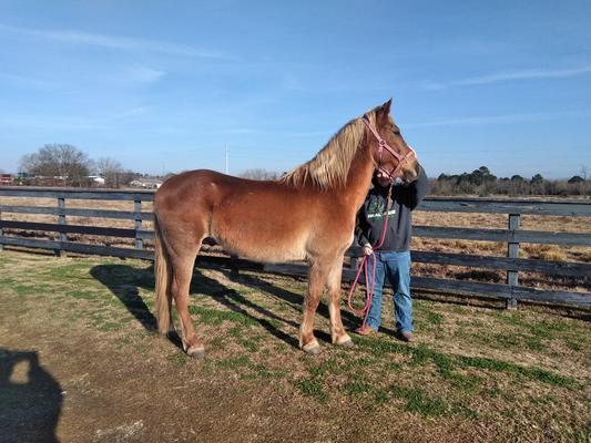 Herald, an adoptable grade horse gelding