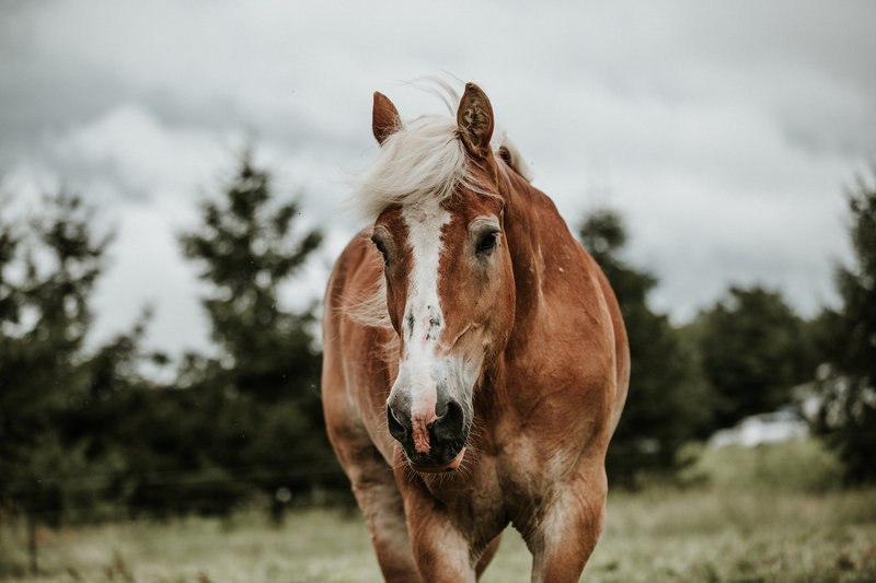 Jesse, an adoptable Belgian draft horse