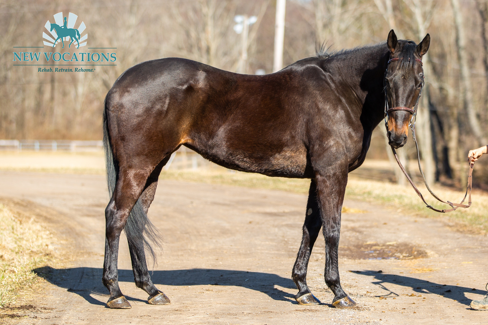 Sweet Heat, an adoptable Thoroughbred at New Vocations in Ohio