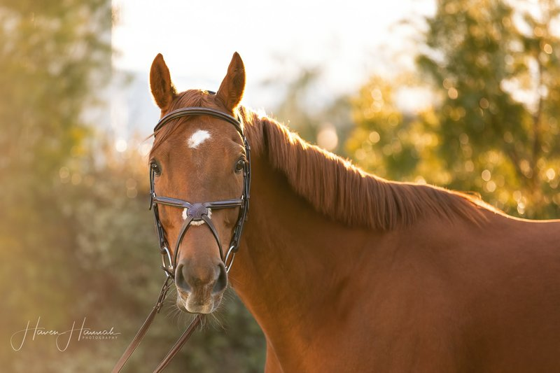 Adoptable Thoroughbred Fawkes at Win, Place, Home, Inc., in Canyon Country, California
