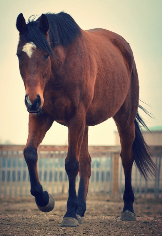 Adoptable Thoroughbred Grant at Colorado Horse Rescue in Longmont, Colorado.
