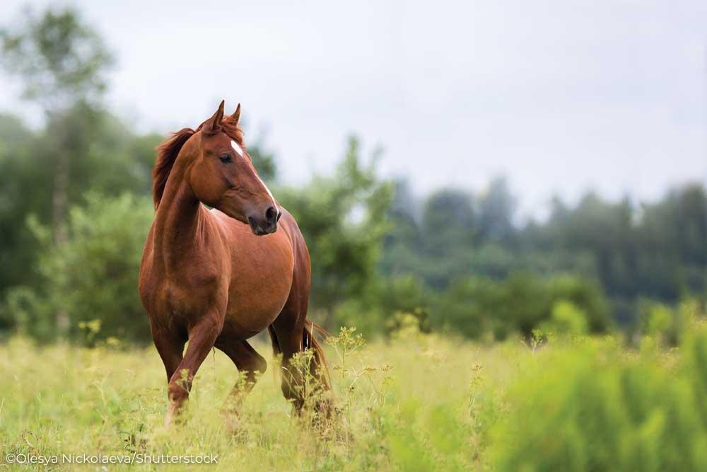 Chestnut horse in a field