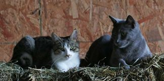 Barn cats lying on a bale of hay