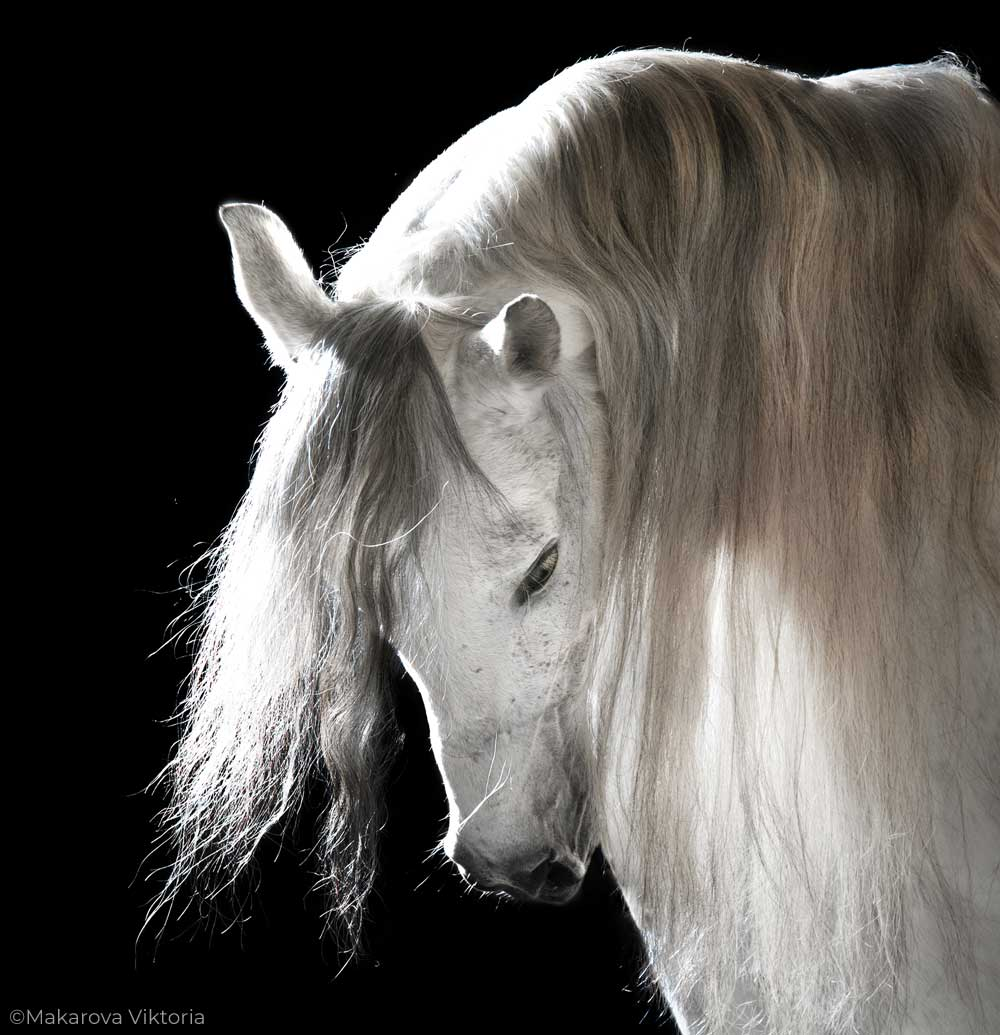 Andalusian horse with a long mane