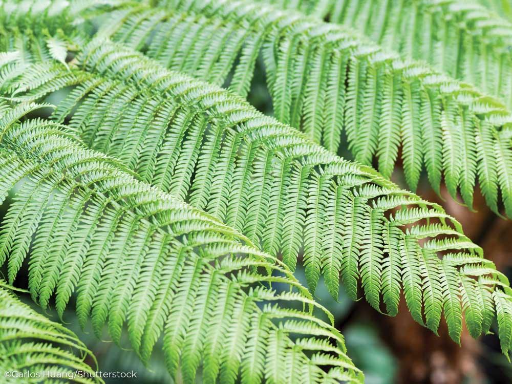 Bracken fern leaves