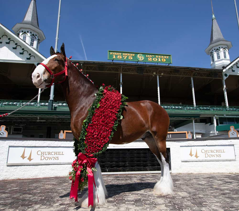 Budweiser Clydesdale at Churchill Downs