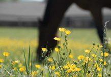 Buttercups in a horse pasture