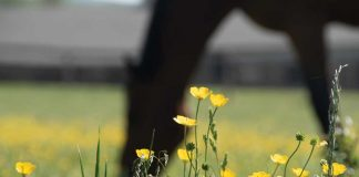Buttercups in a horse pasture