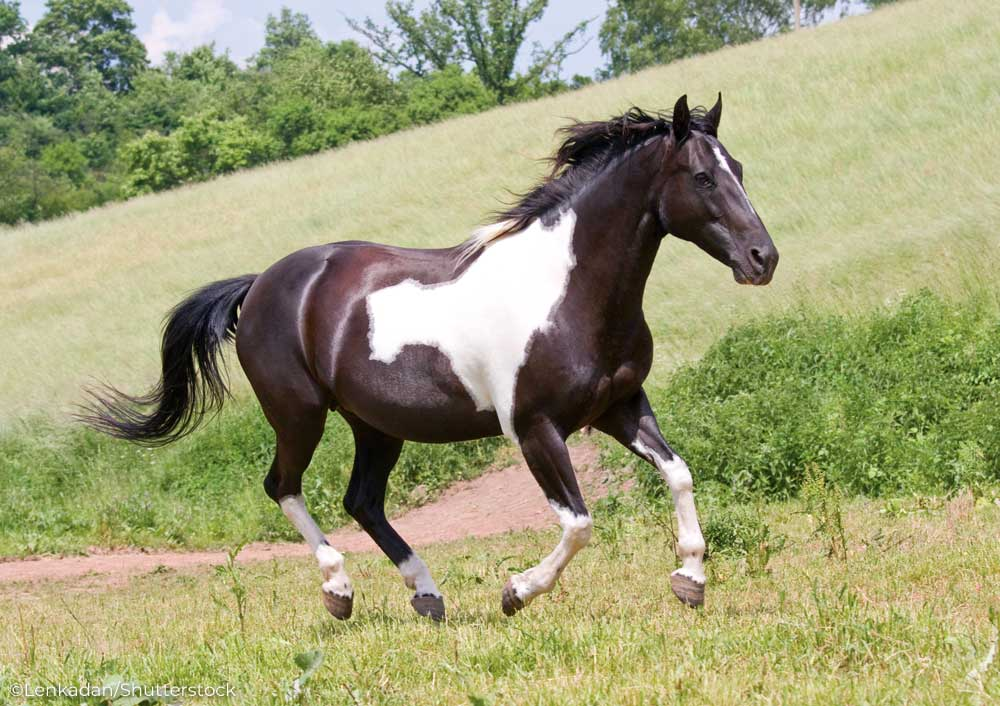 Black and white pinto horse cantering in a field