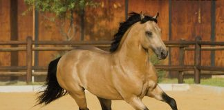 Buckskin horse cantering in a dirt corral