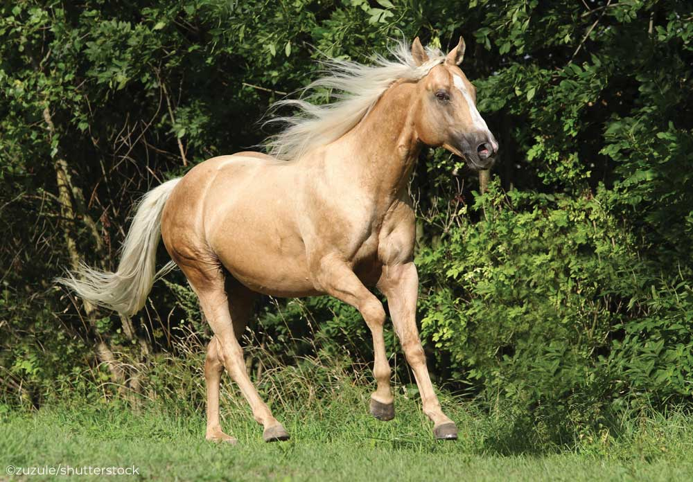 Palomino horse cantering in a field.