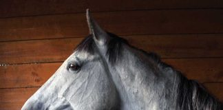 Gray horse standing in a stall