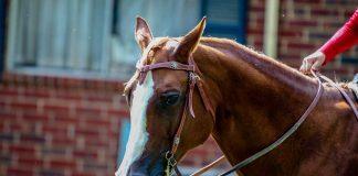 Chestnut horse in a western curb bit