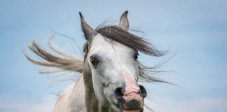 Gray horse with flared nostrils