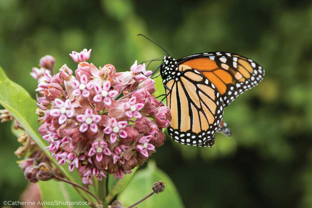 Monarch butterfly on a flowering milkweed