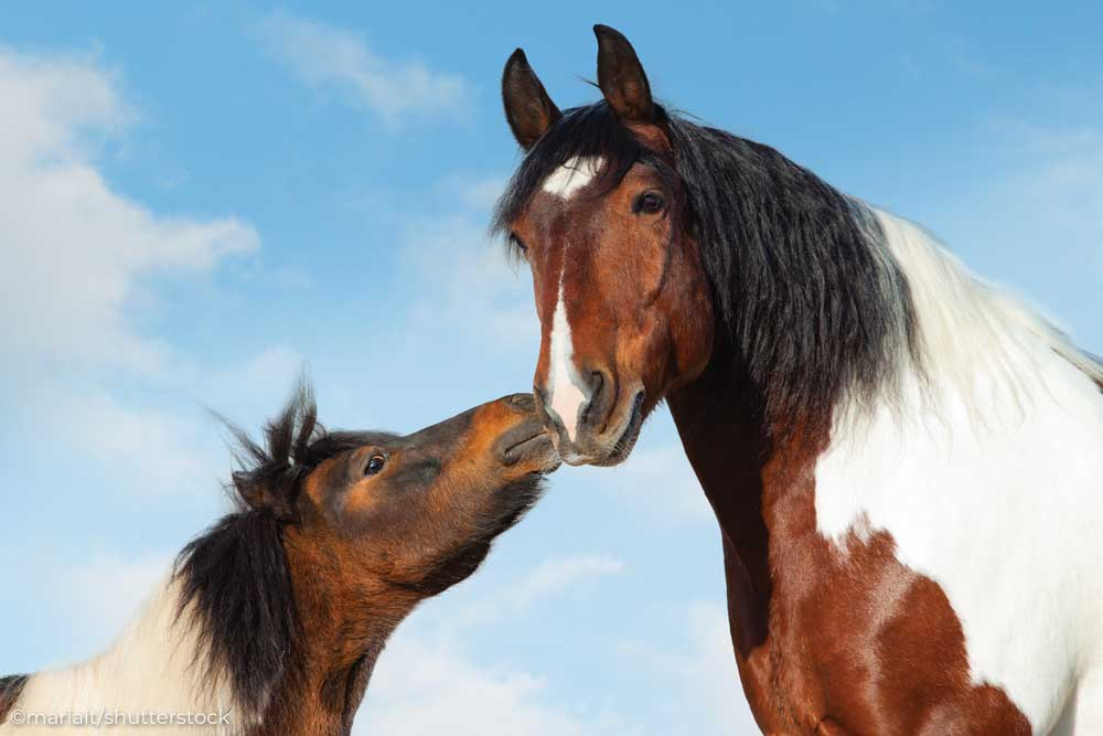 Bay and white pinto pony touching noses with a large bay and white pinto horse.