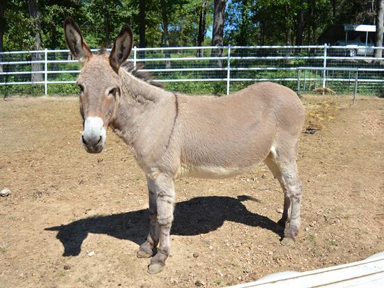 Piccadilly, a female donkey located in Missouri