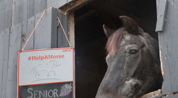 Senior horse in a stall