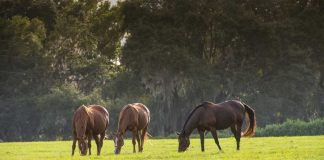 Three horses grazing in a pasture