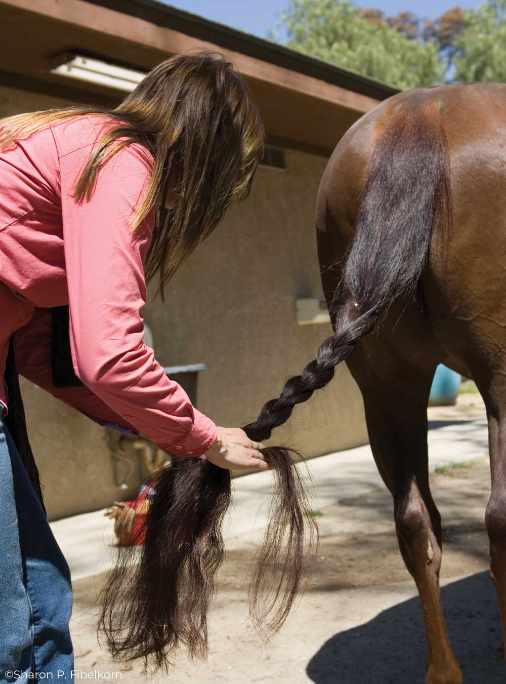 Braiding a horse's tail for maintenance