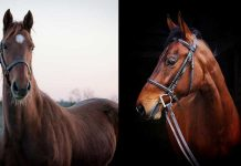 Adoptable Saddlebred horses