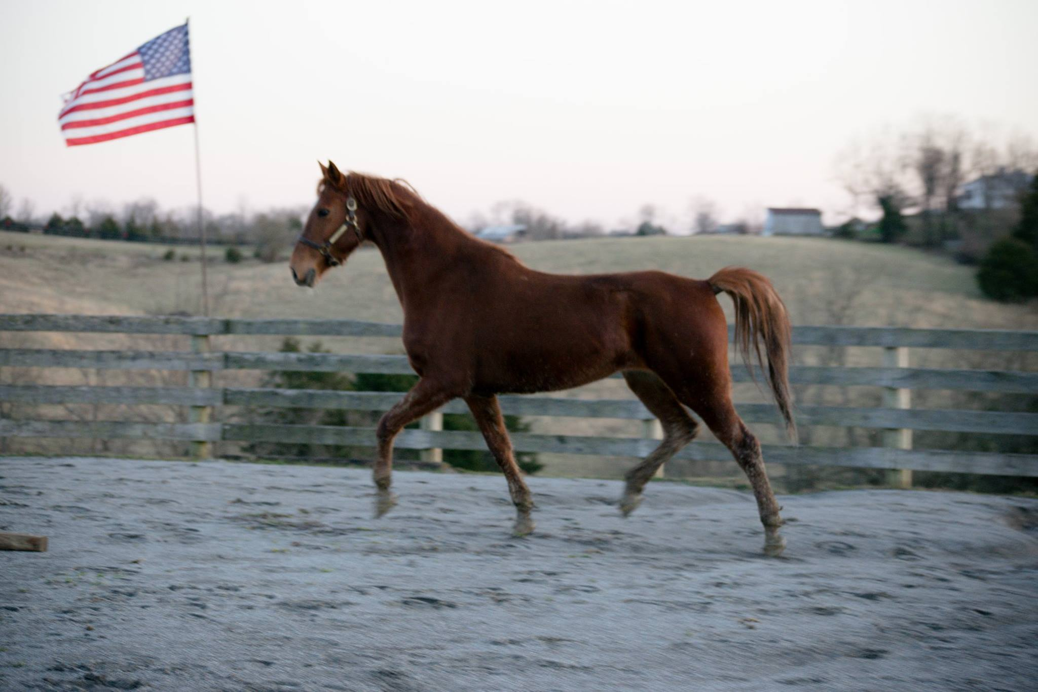Bebe trotting in a corral
