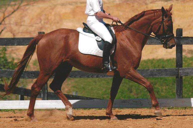 Adoptable Thoroughbred Peaches in Regalia schooling dressage