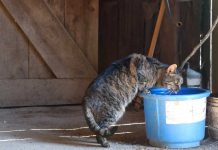Barn cat drinking water