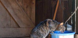 Barn cat drinking water