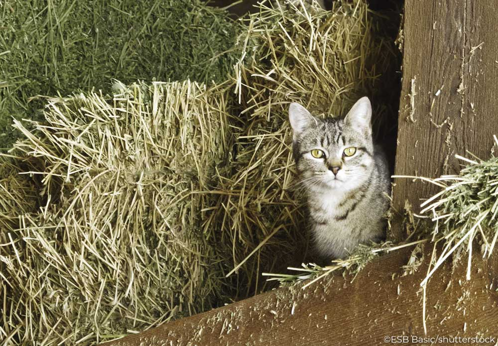 Barn cat in a hay loft
