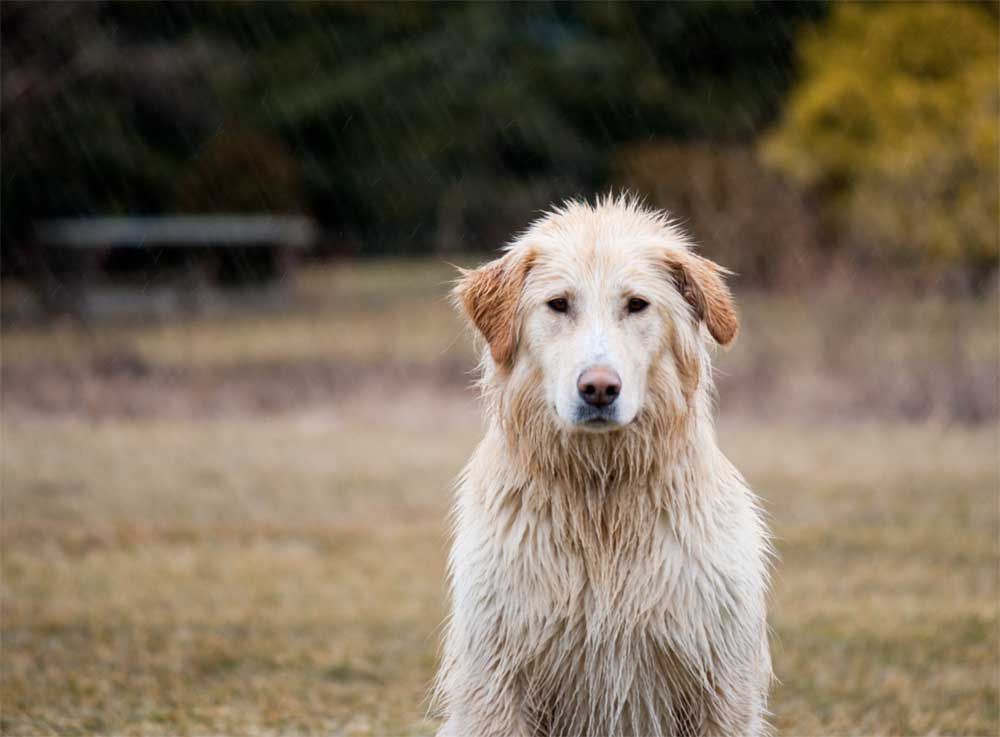Farm dog in the rain