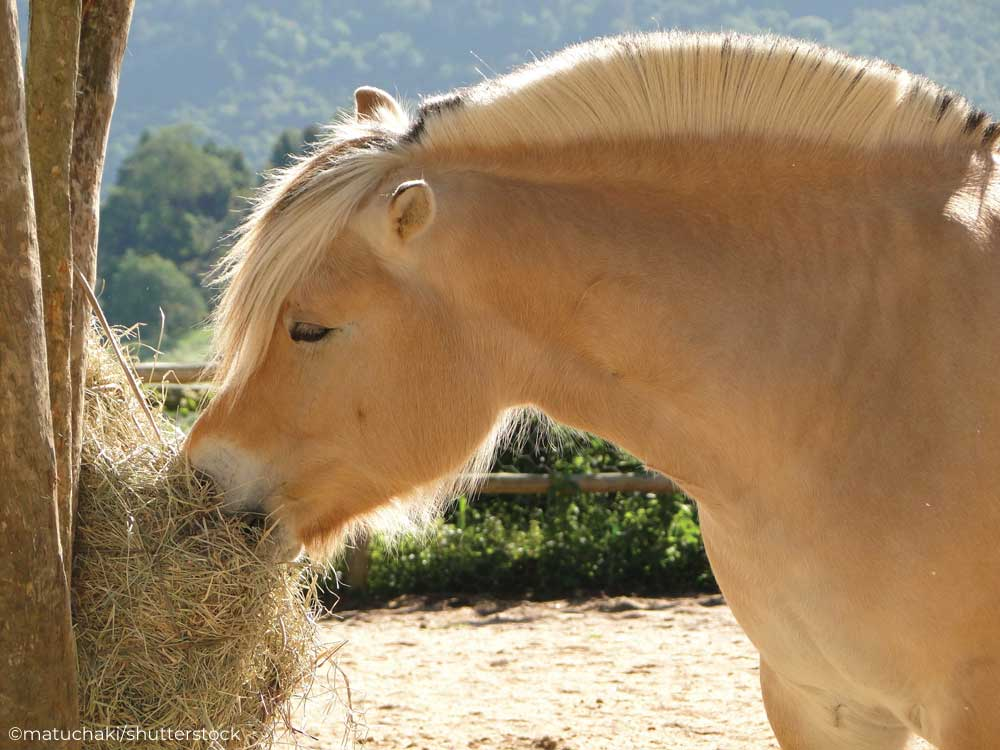 Fjord horse eating hay