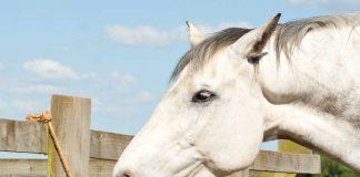 Horse licking a himalayan salt block