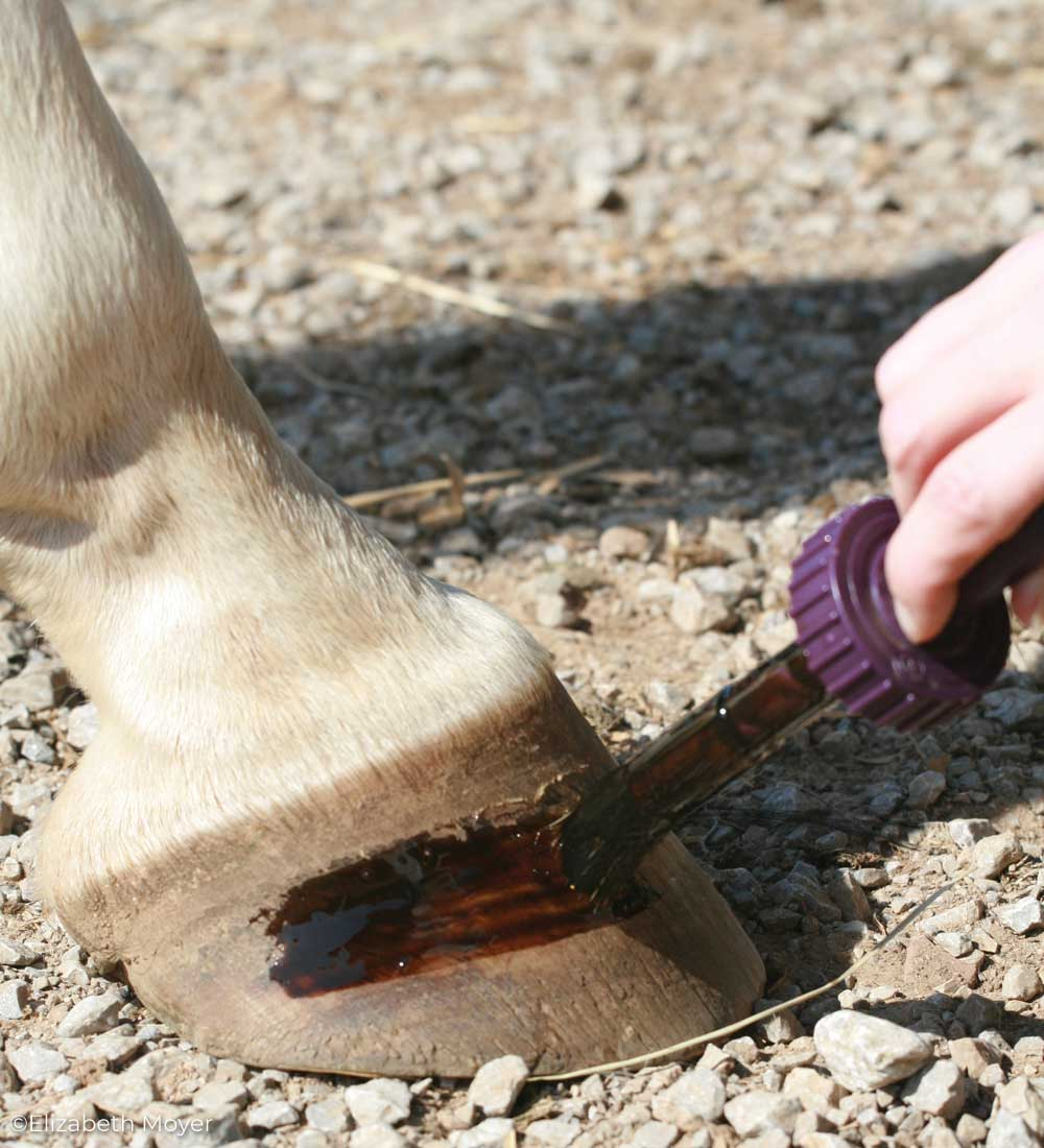 Applying hoof dressing to a horse's hoof