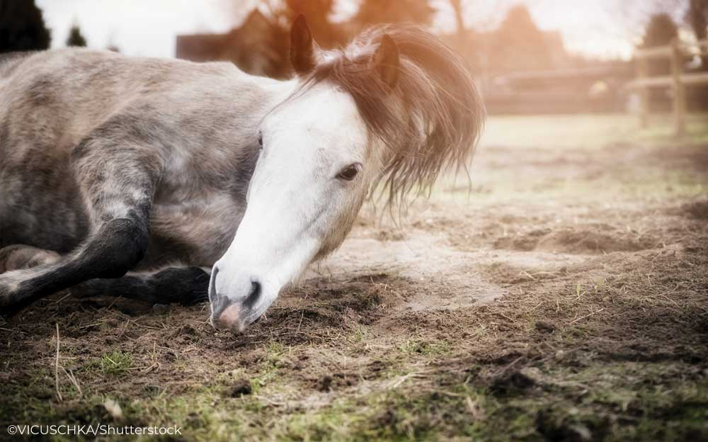 Gray horse rolling
