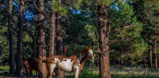 Paint horse on a high line at a campsite