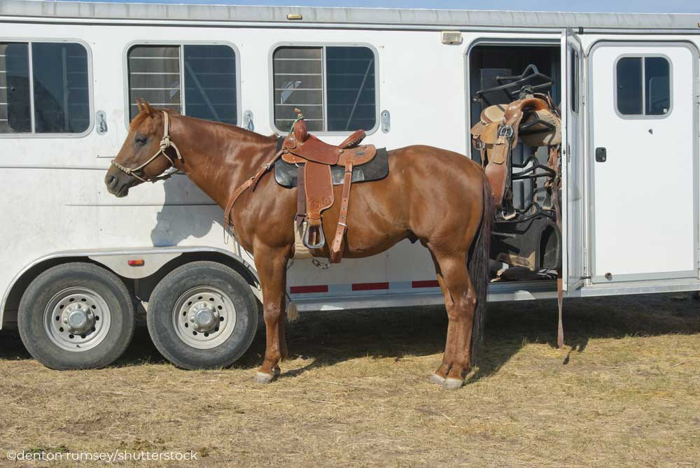 Horse tied to a horse trailer