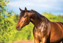 Shiny bay horse in a field