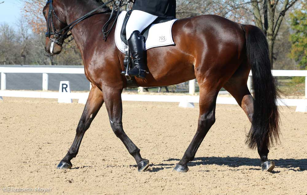 Dressage horse with freshly oiled hooves.