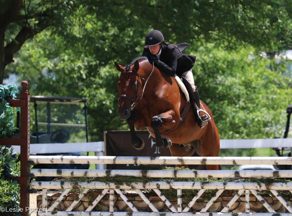Bay hunter show horse