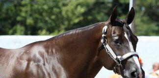 Quarter Horse in a halter class