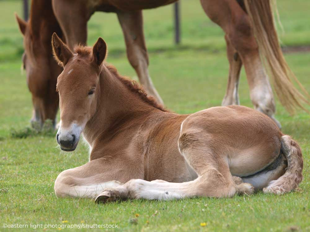 Suffolk Punch foal lying down in the pasture