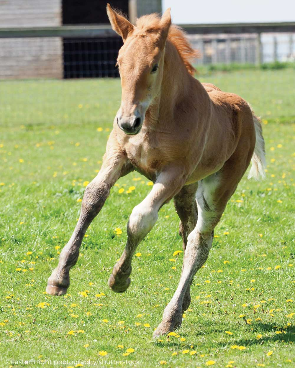 Suffolk Punch foal cantering in the pasture