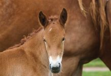 Suffolk Punch foal standing in front of its mother