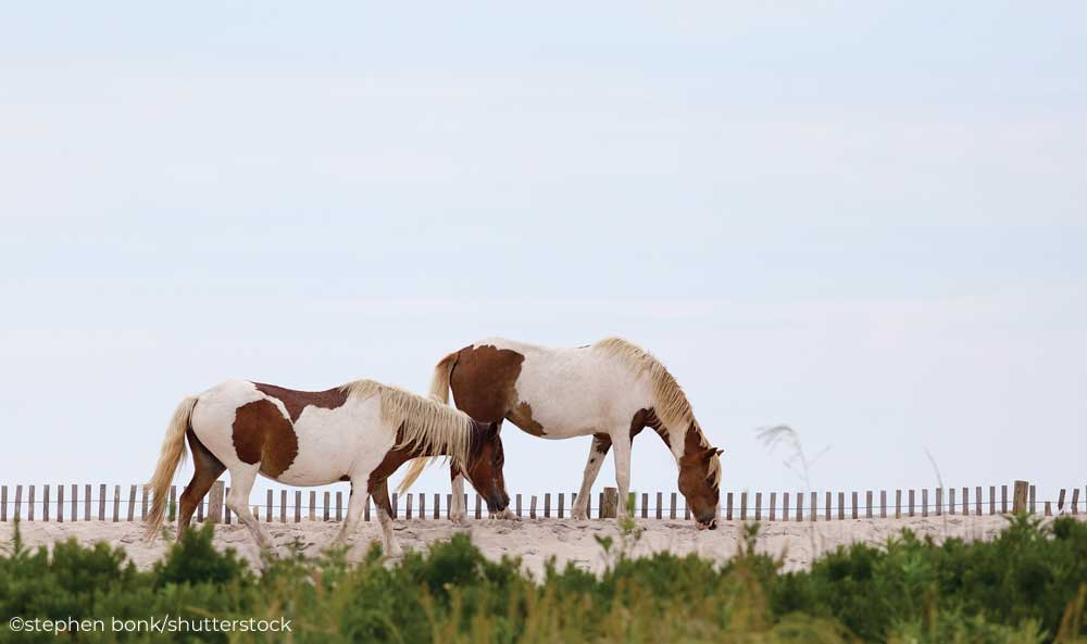 Two Chincoteague Ponies on the beach