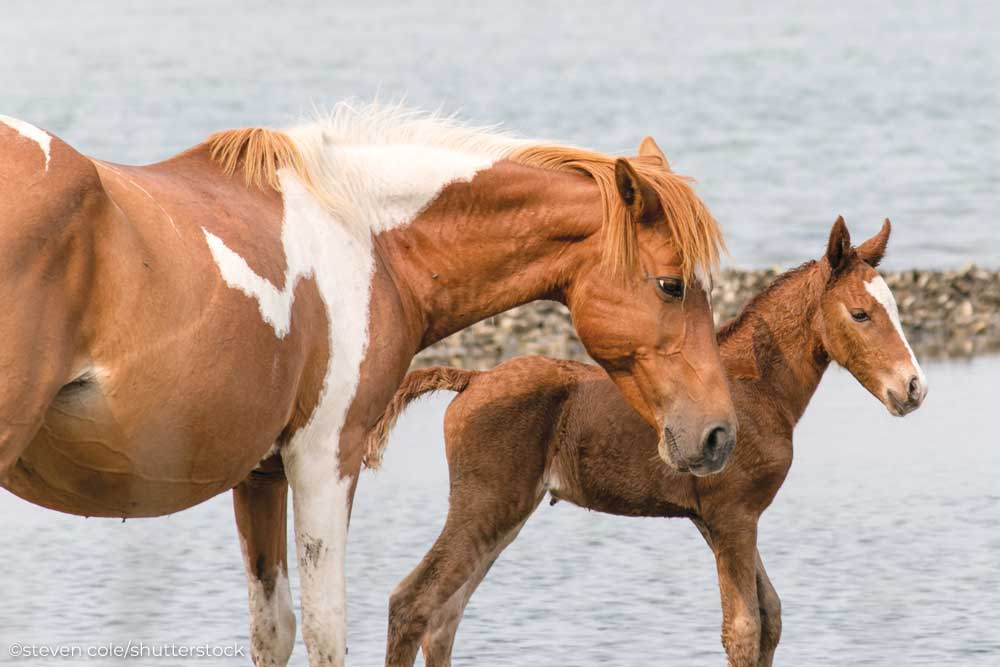 Chincoteague Pony mare and foal
