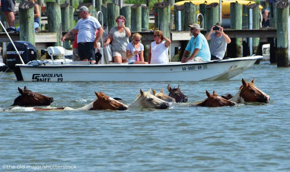 The Chincoteague Pony swim