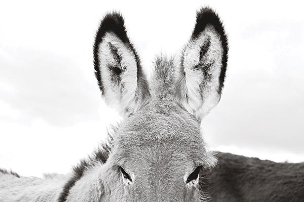 Really Old Donkey Ears