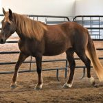 My Right Horse Adoptable Horse of the Week - Annabelle